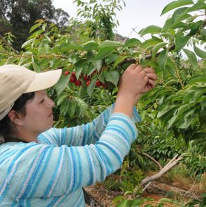 worker trabajador cosecha picking fruit harvest arbol cerezo cherry tree