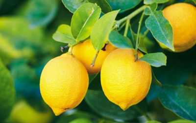 """Chilean lemons to enter the United States under """"Systems Approach"""""""