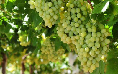 New Varieties Shine as Chile Begins Harvesting In Copiapó