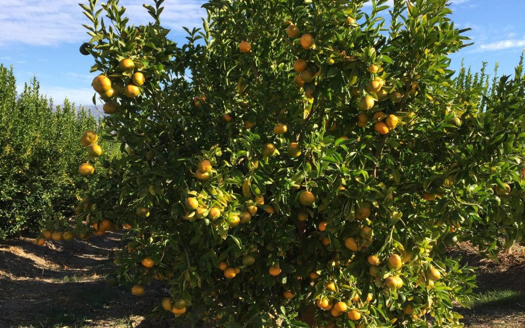 Chilean Citrus Season Has Arrived First Shipments Of