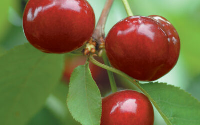 Bring Home with Cherry Best with Chilean Cherries